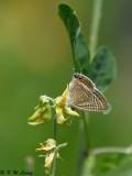 Lampides boeticus DSC_8788