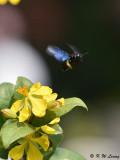 Carpenter Bee DSC_8794
