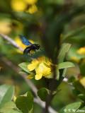 Carpenter Bee DSC_8798