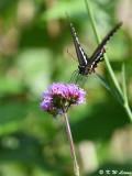 Papilio polytes DSC_8461