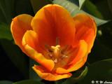Tulip DSC_7151