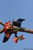 Large-billed Crow DSC_8879