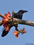 Large-billed Crow DSC_8878