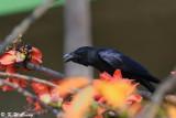 Large-billed Crow DSC_8852