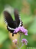 Papilio polytes DSC_9199