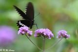 Papilio polytes DSC_9194
