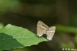 Lampides boeticus DSC_9035
