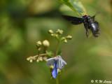 Carpenter Bee DSC_9098