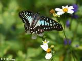 Graphium dosan (木蘭青鳳蝶)