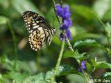 Papilio demoleus (達摩鳳蝶)