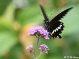 Papilio polytes DSC_9196