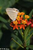 Lampides boeticus DSC_8980