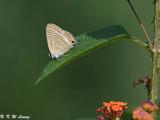 Lampides boeticus DSC_9018