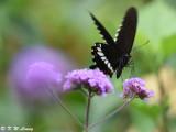 Papilio polytes DSC_9188