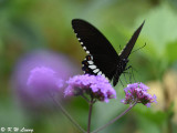 Papilio polytes DSC_9187