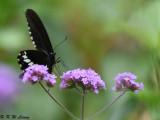 Papilio polytes DSC_9193