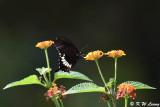 Papilio polytes DSC_8119