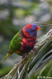 Rainbow Lorikeet DSC_8112