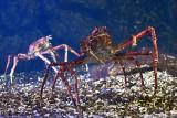 Japanese spider crab DSC_0567