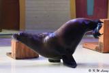 Sea Lion show DSC_0332