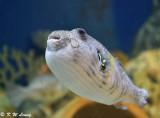 Pufferfish DSC_0595