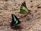 Graphium sarpedon & Pathysa antiphates DSC_1322