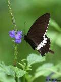 Papilio polytes DSC_1659