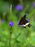 Papilio polytes DSC_1665