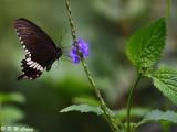 Papilio polytes DSC_1750