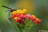Potter wasp DSC_1790