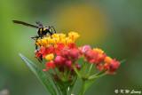 Potter wasp DSC_1791
