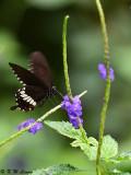 Papilio polytes DSC_1676