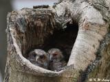 Collard Scops Owl (領角鴞)