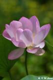 Lotuses (荷花)