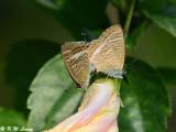 Lampides boeticus DSC_8679