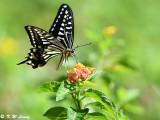Papilio xuthus DSC_1632