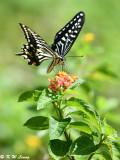 Papilio xuthus DSC_1626