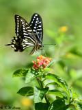 Papilio xuthus DSC_1624
