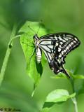 Papilio xuthus DSC_1825