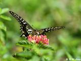 Papilio xuthus DSC_1666