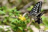 Papilio xuthus DSC_1788