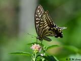 Papilio xuthus DSC_2092