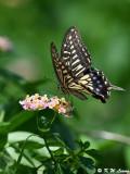Papilio xuthus DSC_2134