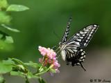 Papilio xuthus DSC_1803