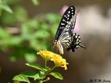Papilio xuthus DSC_1779