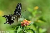 Papilio xuthus DSC_1630