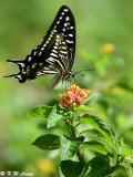 Papilio xuthus DSC_1635