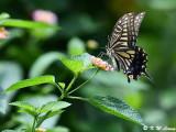 Papilio xuthus DSC_1991