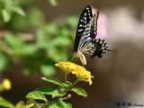 Papilio xuthus DSC_1781