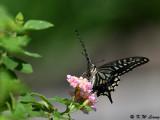 Papilio xuthus DSC_1800